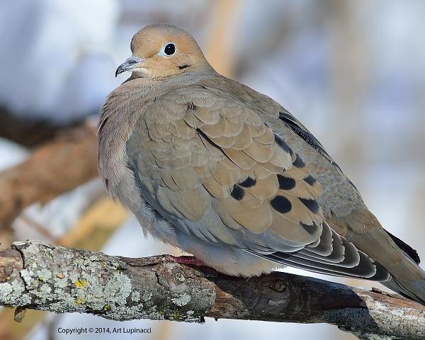 morning-dove.jpg