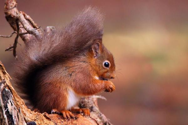 red-squirrel.jpg