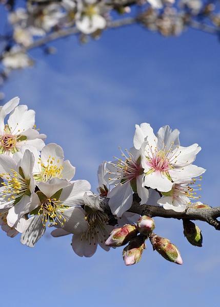 -dsc1812-almond-blossom.jpg