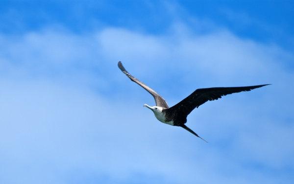 02174-frigate-bird.jpg