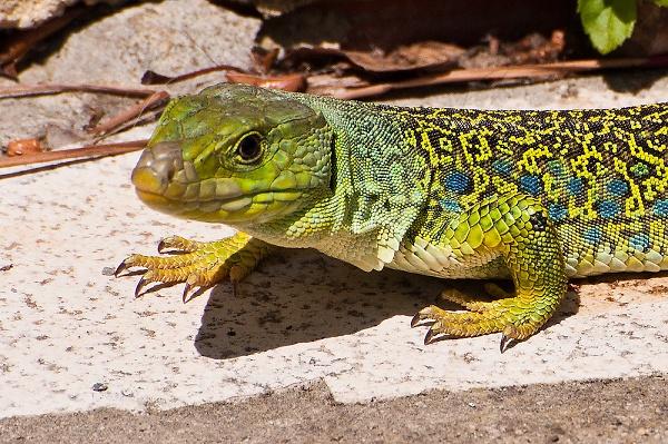 3--dsc3195-ocellated-lizard2.jpg