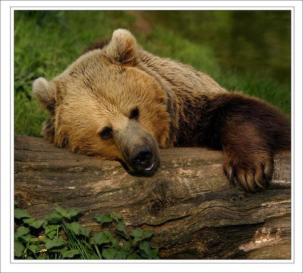 sleepy-bear.jpg