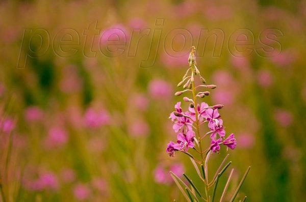 rosebay-willowherb.jpg