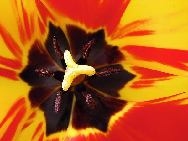 epz-tulip.jpg