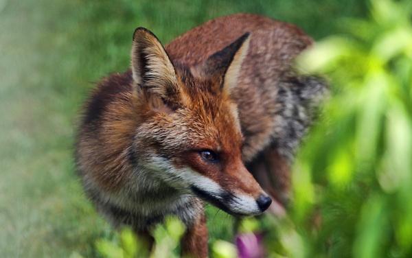 2-img-4449-fox-jpg.jpg