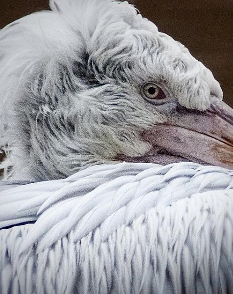 pelican-1579.jpg