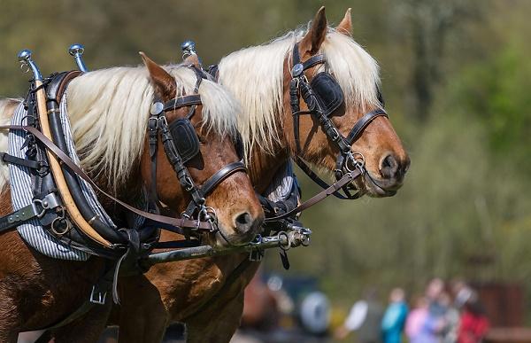 hhhshow-2-2-heavy-horses.jpg