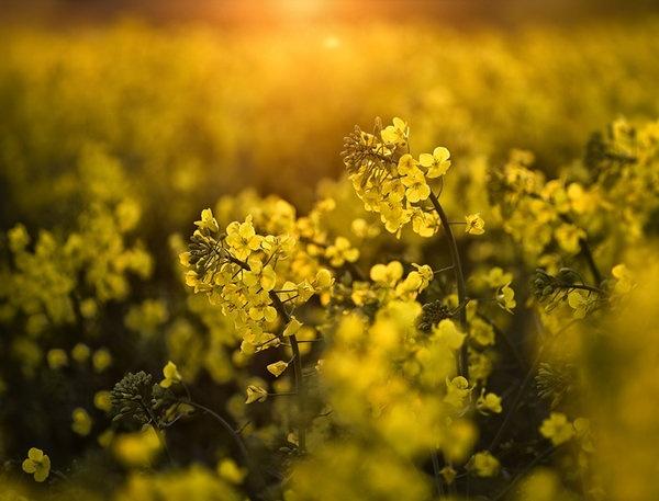 rapeseed-1-srp.jpg
