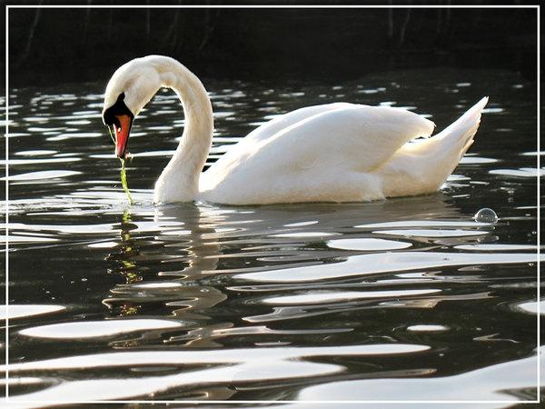 swan-reflection.jpg