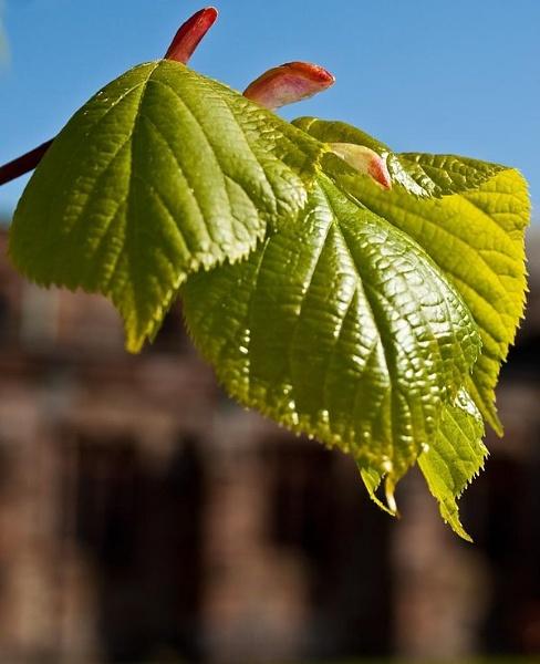 churchard-leaf.jpg