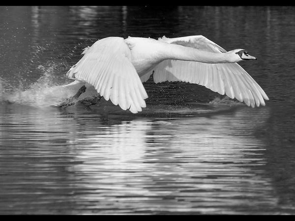 mute-swan-in-flight.jpg