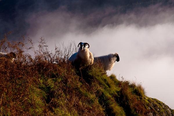 glentrool-sheep.jpg