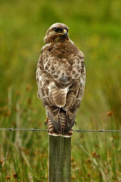 buzzard-1280-timriches.jpg