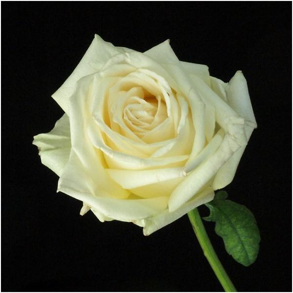 cream-rose--0225.jpg