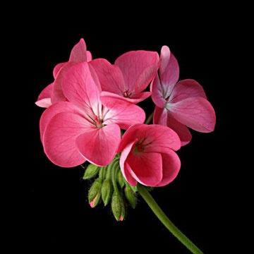 pink-geranium.jpg