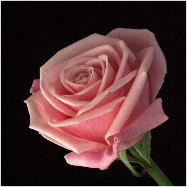 pink-rose-14-01-14-0228.jpg