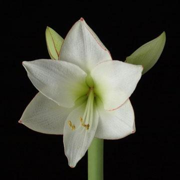 white-amaryllis--0194.jpg