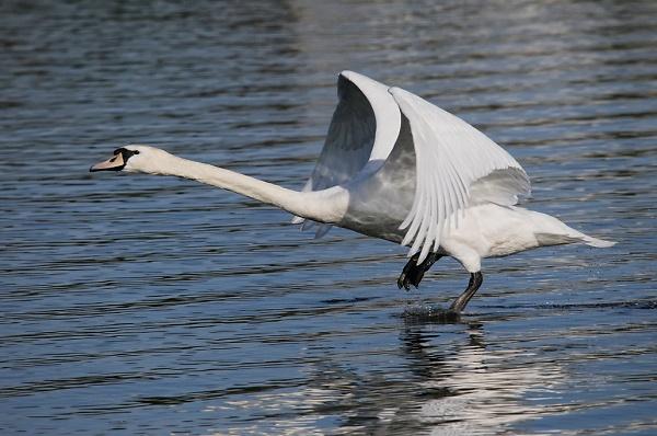swan-take-off.jpg