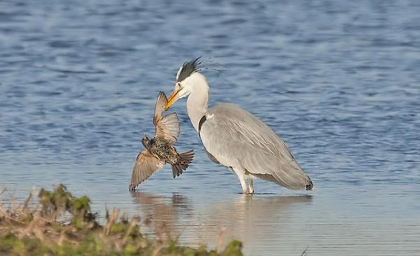 heron-captures-starling.jpg