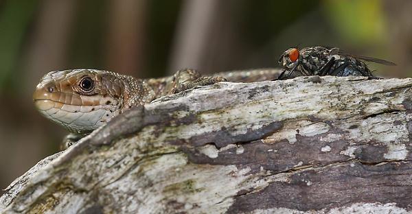 lizard-and-the-fly.jpg