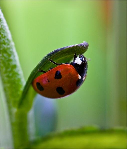 2-1--seven-spot-ladybird--coccinella-septempunctata--.jpg