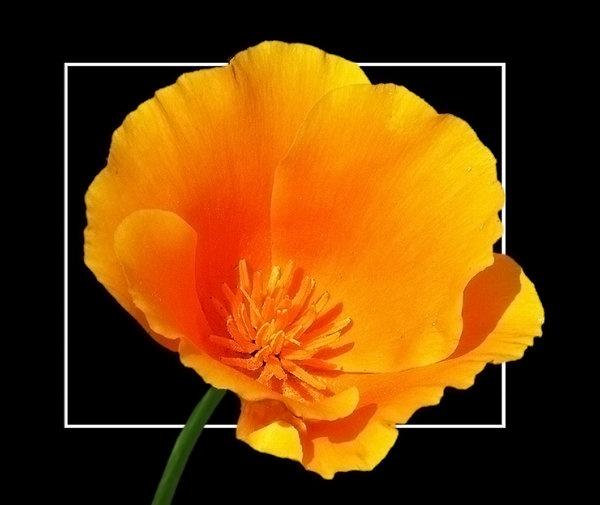poppy--1-.jpg