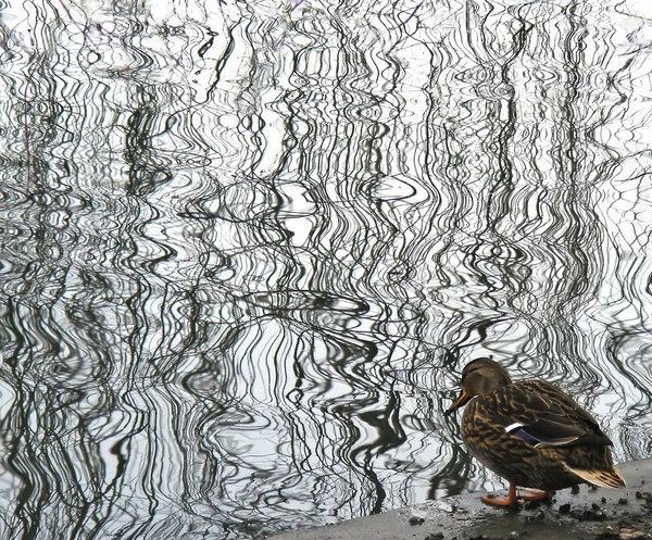pensive-duck.jpg