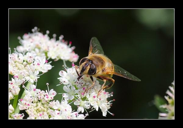 hoverfly1-img-6363.jpg
