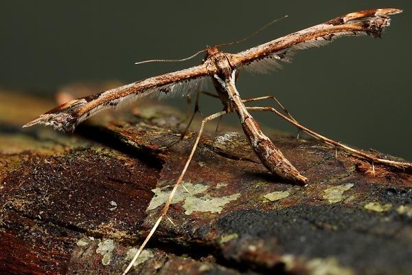 plume-moth2-2012-03-27-13.jpg